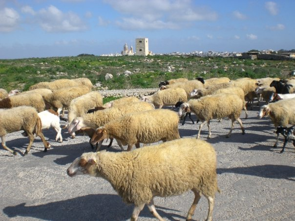 Sheep near Dingli cliffs